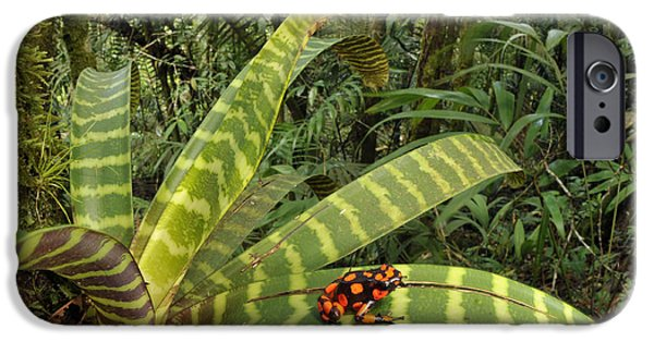 Frogs Photographs iPhone Cases - Harlequin Poison Frog iPhone Case by Francesco Tomasinelli