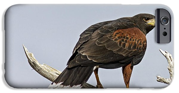 Hawk Art Print iPhone Cases - Harris Hawk iPhone Case by Phill  Doherty
