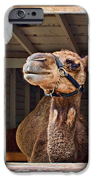 Camel Photographs iPhone Cases - Haughty iPhone Case by Nikolyn McDonald