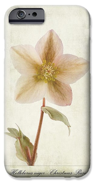 Christmas iPhone Cases - Helleborus niger iPhone Case by John Edwards