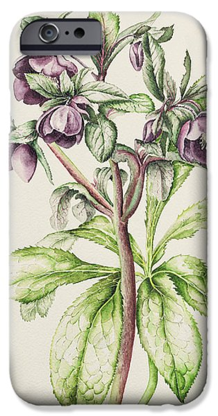 Flora Drawings iPhone Cases - Helleborus Orientalis iPhone Case by Alison Cooper