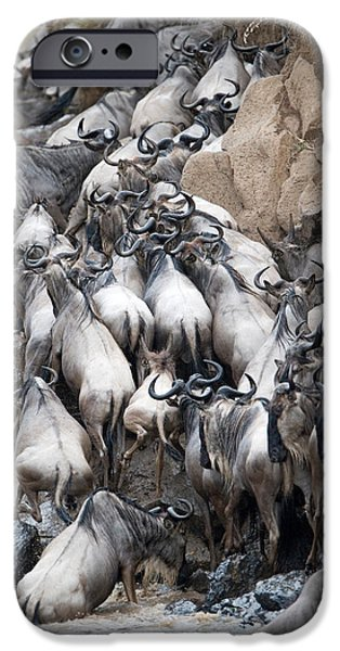 Masai Mara Photographs iPhone Cases - Herd Of Wildebeests Crossing A River iPhone Case by Panoramic Images