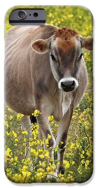 Moo Moo iPhone Cases - Here I Come - Jersey Cow iPhone Case by Gill Billington