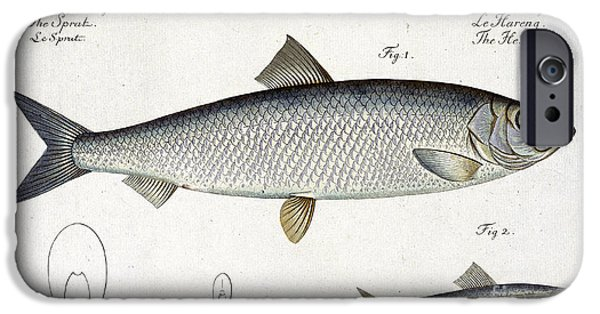 Hunting Drawings iPhone Cases - Herring iPhone Case by Andreas Ludwig Kruger
