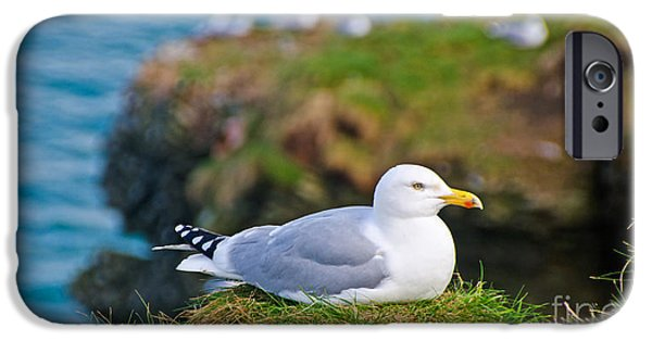 Herring Gull iPhone Cases - Herring Gull at Rest iPhone Case by Chris Thaxter