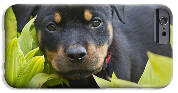 Rottweiler iPhone Cases - Hey here I am iPhone Case by Heiko Koehrer-Wagner