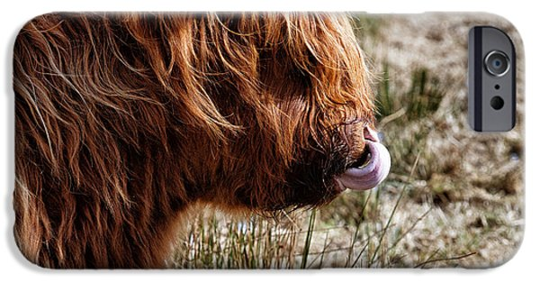 Coos iPhone Cases - Highland Coo with tongue in nose iPhone Case by John Farnan