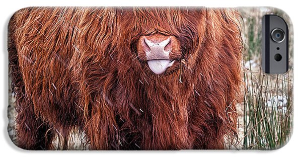 Coos iPhone Cases - Highland Coo with tongue out iPhone Case by John Farnan