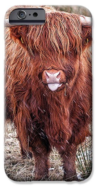 Highland Coo with tongue out iPhone Case by John Farnan