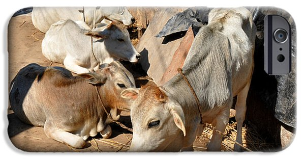 Holy Cow iPhone Cases - Holy Cows Odisha India iPhone Case by Diane Lent
