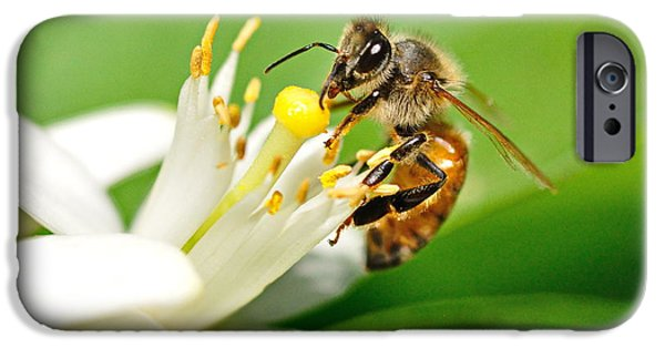 Bee iPhone Cases - Honey Bee Embraces Orange Blossom iPhone Case by Wayne Nielsen