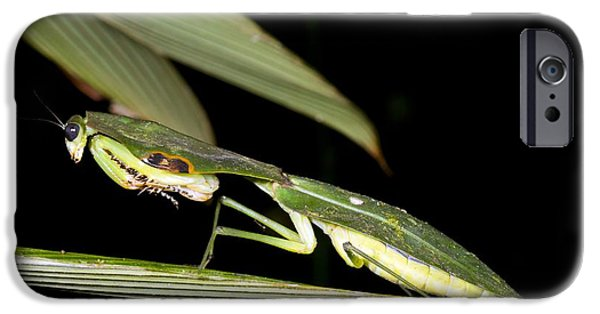 Mantodea iPhone Cases - Hooded Mantis iPhone Case by Dr Morley Read