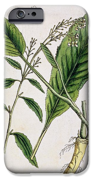 Flora Drawings iPhone Cases - Horseradish iPhone Case by Elizabeth Blackwell