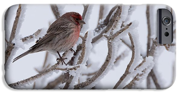 Finch iPhone Cases - House Finch iPhone Case by Ernie Echols