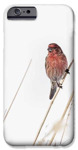 Finch iPhone Cases - House Finch Male iPhone Case by Bill  Wakeley