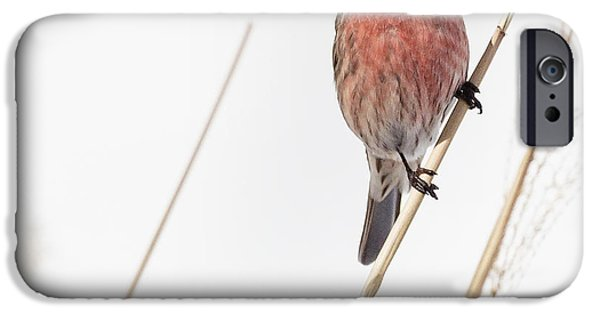 Finch iPhone Cases - House Finch Male Square iPhone Case by Bill  Wakeley