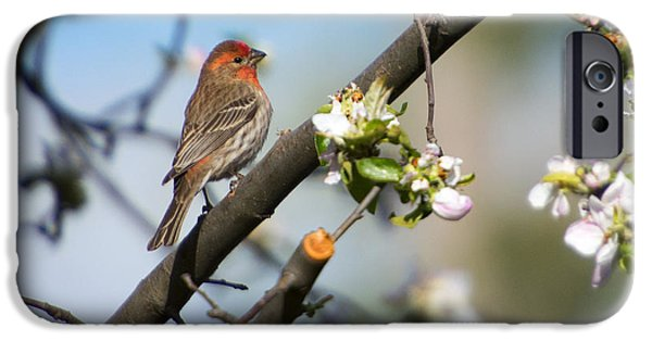 Finch iPhone Cases - House Finch iPhone Case by Mike Dawson