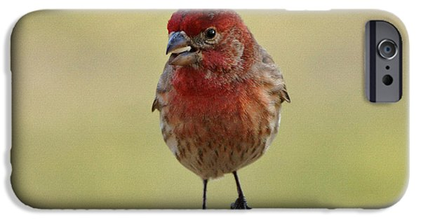 Finch iPhone Cases - House Finch with Seed iPhone Case by Sandy Keeton