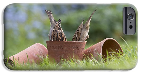 Flowerpot iPhone Cases - House Sparrow Feeding iPhone Case by Tim Gainey