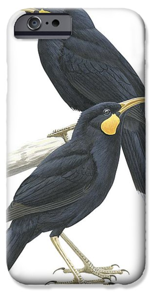 Male Drawings iPhone Cases - Huia iPhone Case by Anonymous