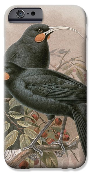 Berry iPhone Cases - Huia iPhone Case by Johan Gerard Keulemans