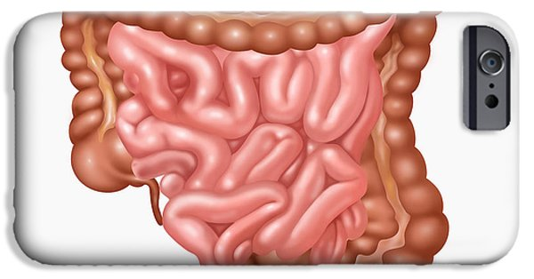 Large Intestine iPhone Cases - Human Lower Gastrointestinal Tract iPhone Case by Gwen Shockey
