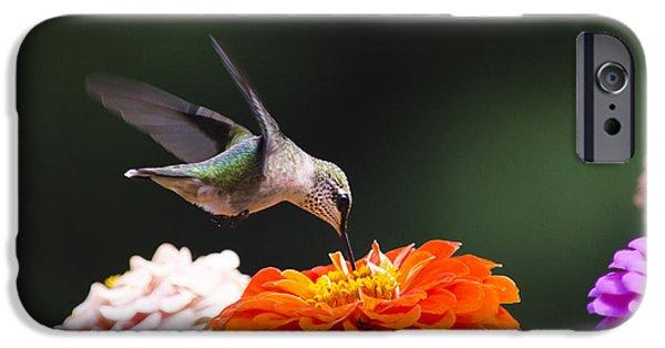 Hummingbird iPhone Cases - Hummingbird in Flight with Orange Zinnia Flower iPhone Case by Christina Rollo