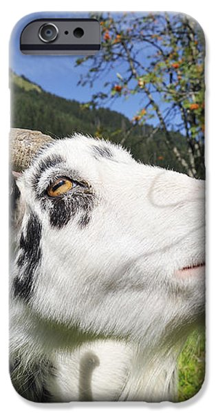 Hungry goat iPhone Case by Matthias Hauser