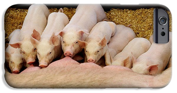 Piglets iPhone Cases - Hungry Little Piglets iPhone Case by Luke Moore