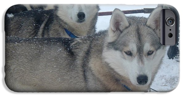 Husky Pyrography iPhone Cases - Huskies waiting to go for a run iPhone Case by Susan Russo