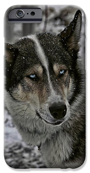Huskies Photographs iPhone Cases - Husky Dog of the Sled iPhone Case by Mountain Dreams