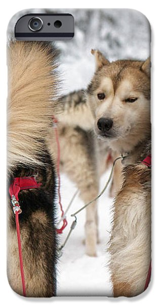 Husky dogs pull a sledge  iPhone Case by Lilach Weiss