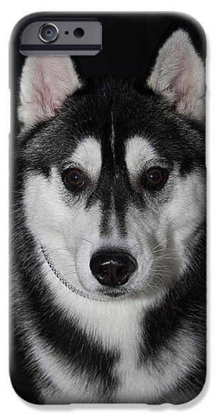 Recently Sold -  - Husky iPhone Cases - Husky Portrait iPhone Case by Jodi Jacobson