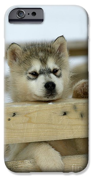 Husky iPhone Cases - Husky Puppy Dog iPhone Case by M. Watson