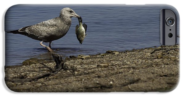 Herring Gull iPhone Cases - I Guess I Got Tails iPhone Case by Thomas Young