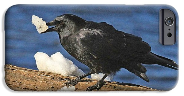 Crows iPhone Cases - Ice Crow iPhone Case by Donald Cramer