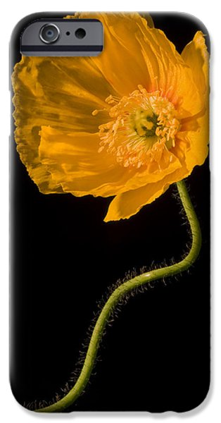Floral Photographs iPhone Cases - Icelandic Yellow Poppy Flower iPhone Case by Keith Webber Jr