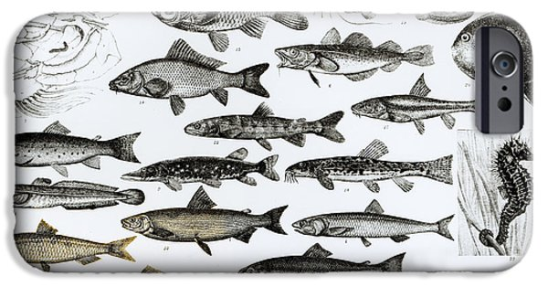 Biological Drawings iPhone Cases - Ichthyology iPhone Case by English School