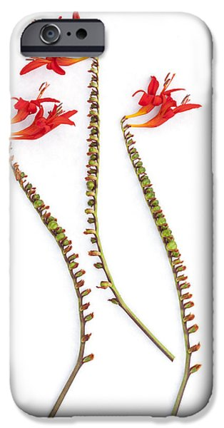 Trio Photographs iPhone Cases - If Seahorses Were Flowers iPhone Case by Carol Leigh