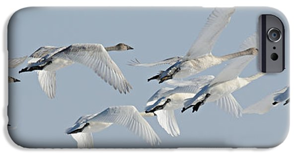 Swans... iPhone Cases - In Flight iPhone Case by Larry Ricker