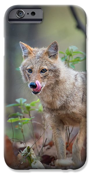 Wild Animals iPhone Cases - Indian Jackal Canis Aureus Indicus iPhone Case by Panoramic Images