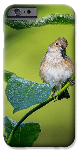 Bunting iPhone Cases - Indigo Bunting Female iPhone Case by Bill  Wakeley
