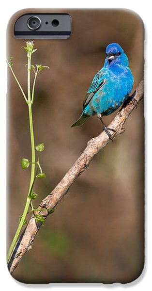 Bunting iPhone Cases - Indigo Bunting Portrait iPhone Case by Bill  Wakeley