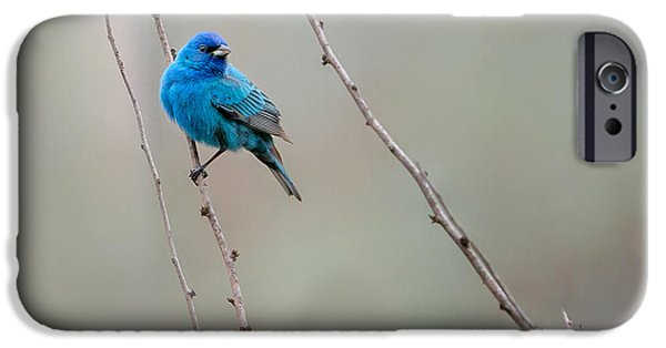 Bunting iPhone Cases - Indigo Bunting Square iPhone Case by Bill  Wakeley