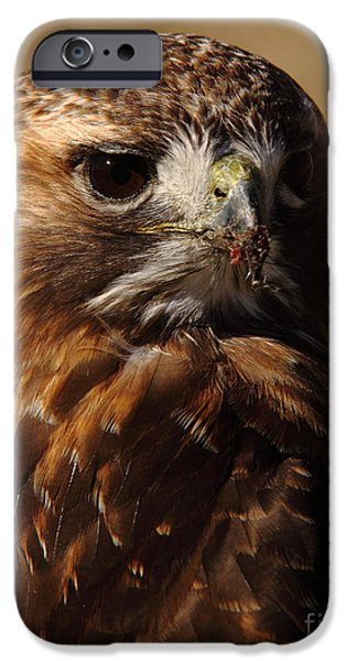 Arkansas iPhone Cases - Red Tailed Hawk Portrait iPhone Case by Robert Frederick