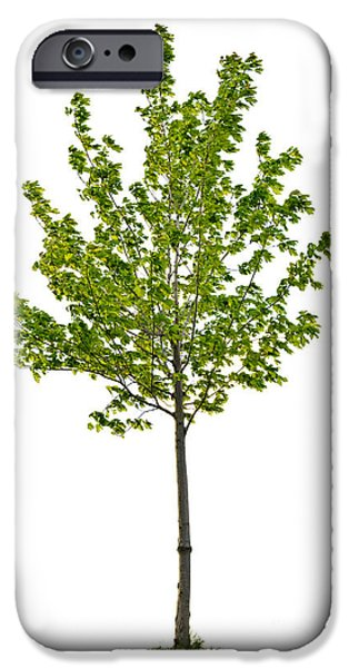 Young Photographs iPhone Cases - Isolated young maple tree iPhone Case by Elena Elisseeva