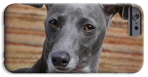 Greyhound Photographs iPhone Cases - Italian Greyhound iPhone Case by Angie Vogel