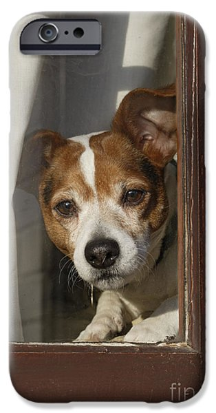 Dog Close-up iPhone Cases - Jack Russell At Window iPhone Case by Brian Bevan