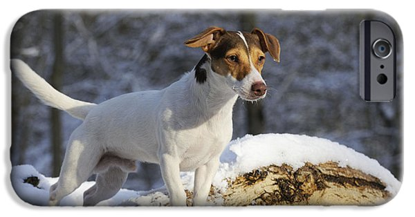 Dog In Snow iPhone Cases - Jack Russell Terrier In Snow iPhone Case by John Daniels
