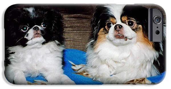 Japanese Chin Puppy iPhone Cases - Japanese Chin Dogs Looking Guilty iPhone Case by Jim Fitzpatrick